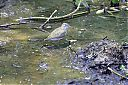 Common_Sandpiper_eating_frog.jpg