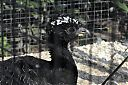 Bare-faced_Curassow.jpg