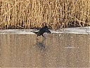 carrion_crow_dancing_on_ice.jpg
